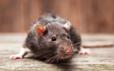 Rat Bait Poisoning in Small Animals