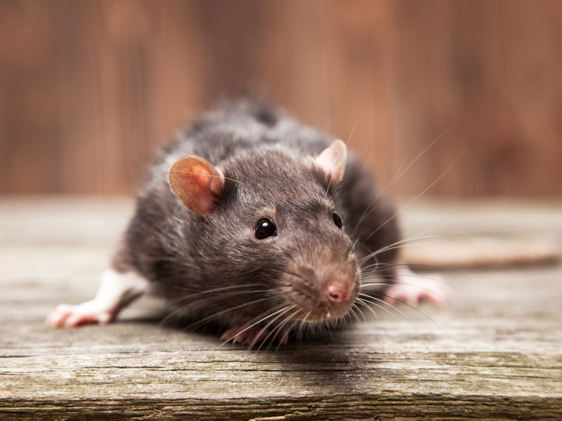 Rat Bait Poisoning in Small Animals